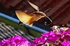 Taubenschwänzchen - Insekten mit Rüssel