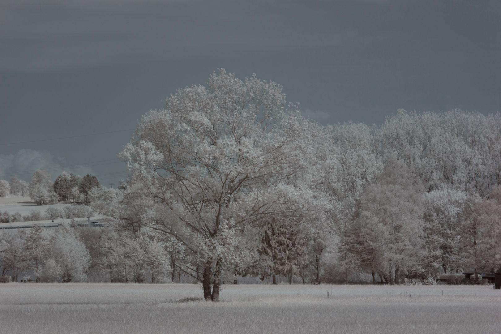 Baum in den Bornwiesen bei Nidderau